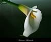 Copo de leite (Apenas um olhar) Tags: flor copodeleite poesia fé força delicadeza duetos vivianemachado