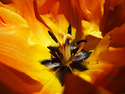 Getting to the heart of a tulip