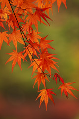 #2 (momiji) (* Yumi *) Tags: autumn red favorite japan autumnleaves explore momiji  popular soe  naturesfinest yourfavorite supershot 100faves flickrsbest 25faves superbmasterpiece diamondclassphotographer 75faves artlegacy natureoutpost thegoldenmermaid