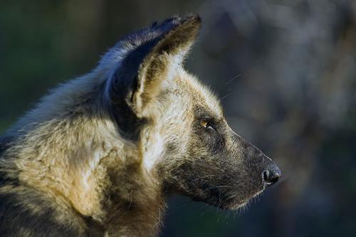 Wilddog (Endangered)