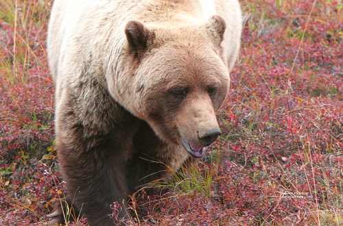 Denali - Grizzly Bear eating blueberries