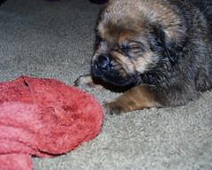 Mastweiler (Born 2/1/07) (muslovedogs) Tags: dogs puppy daisy mastweiler zeusoffspring