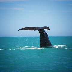... (~ geisha ~) Tags: newzealand shower drops tail whale kaikoura icantchooseanywordsthatdothiswhalejustice