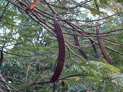 Shak-Shak (dinesh_valke) Tags: tree pine evergreen tropical delonixregia deciduous fabaceae flamboyant puke flametree mayflower perennial gulmohar flamboyanttree krishnachura royalpoinciana flameoftheforest caesalpiniaceae avarua peacockflower fancyanna caesalpinioideae gulmohr ohai flamboyn gulmohur poincianaregia caesalpiniaregia ohai acaciaflamejante acaciarubra arboldelfuego atbot atbotdetfuegu atbut fayarbaw flamboiante flamboyantacacia flamboyante flordepavao nangioskura nangyo ngatipa ohaiula pilampwoiaweitahta sakuranirow sekoula