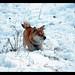 柴犬:Primitive dog