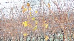 ciclo vegetativo a riposo (Terre Contese) Tags: foglie vintage neve uva pino aghi inverno freddo grape vigne vino vento vite pigna fiocco romagna pini uve viti quercia vigna fiocchi vigneti estremo querce terrediconfine
