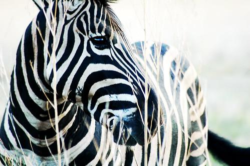 zebra12