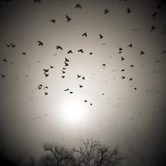 thousands of birds (yu+ichiro) Tags: china bw bird holga doubleexposure  multiplexexposure