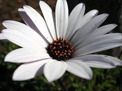 Detail of African Daisy. (JannK) Tags: flower whiteflower southerncalifornia fabulous africandaisy osteospernum riversidecounty brillianteyejewel excellentsflowers flowersofallkinds explorewinnersoftheworld