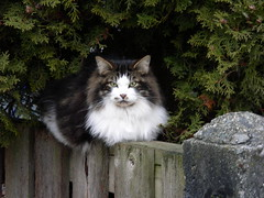 East Vancouver very regal cat (knightbefore_99) Tags: beautiful vancouver cat feline eastside commercialdrive eastvan regal thedrive cc600 bestofcats boc0309