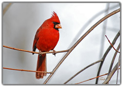 Northern Cardinal -- Red & Gray (Momba (Trish)) Tags: red bird nature nikon cardinal tennessee gray nikkor momba northerncardinal blueribbonwinner birdintree nikond200 supershot qemdfinch impressedbeauty avianexcellence theperfectphotographer birdonlimb