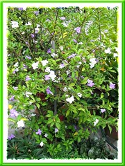 Yesterday-today-tomorrow (Brunfelsia calycina)
