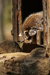 (mad_airbrush) Tags: nature animals eos wildlife n 1d mk2 wildpark moritzburg mark2 1dmarkiin wildfütterung wildfütterungmoritzburg