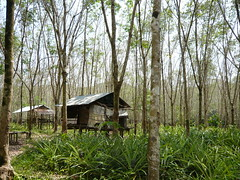 rubber plantation (suzanne monday) Tags: wedding thailand kohkut ryannis