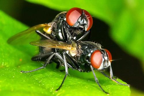 Making little flies / Fazendo mosquinhas (by Chaval Brasil)