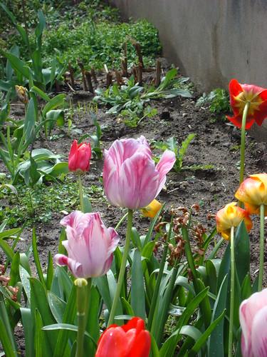 Tulipes de mes voisins