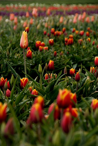 tulipfarmvisit6