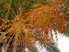 Palmolives (Serghei Zadorojnai) Tags: tree beach cyprus palm palmtree 2008 palmolive ayianapa nissibeach 200805 20080511