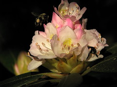 bumble bee rhododendron