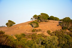 Hills and Trees and....Trees Oh My! (LauraJSwindle) Tags: californiahills nikond7100 2016 norcal northerncalifornia sky goldenhills branches botanical flora foliage bayarea ca outdoors landscape bluehazyday usa september fall autumn sunset