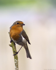127 of 365 - Pretty Robin (linlaw39) Tags: red blur bird nature oneaday animal closeup spring bokeh lindal 70300mmlens project365 365project canoneos500d may2011 07052011
