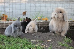 Family (Linzse) Tags: family baby cute rabbit bunny bunnies outside babies free fluffy litter cuddly rabbits ea lop minilop lops minilops lionlop lionlops