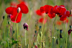 papaveri (gicol) Tags: red italy flower color verde green rouge countryside rojo weed br poppies campo fiore rosso puglia coquelicot apulia amapola papavero 10faves torchiarolo