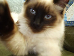 DSCI0142 (phildingo) Tags: cute furry adorable fluffy siamese kittens cuddly himalayan zeek finnian burmin