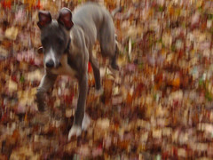 freya runs (Urbanimp) Tags: dog leaves speed blurry running whippet