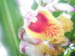 sei lá qual o nome é flor, mais não é orquidea  nilgazzola (nilgazzola) Tags: brasil de foto sp ou com orquideas tirada maquina echapora gazzola nilceia nilgazzola