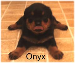 onyx1 (muslovedogs) Tags: dogs puppy rottweiler teaara zeusoffspring