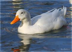 White Pekin Duck (Ron Bizzle Jr.) Tags: orange white lake reflection bird eye wet water birds swimming swim canon reflections bill duck pond head tail feather donald ron float bizzle pekin billed