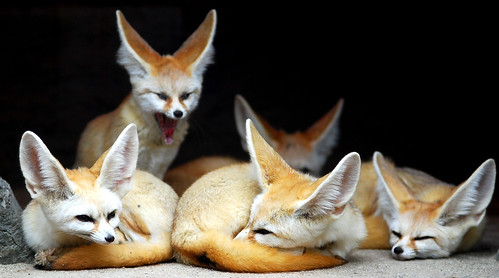fennec fox breeder family