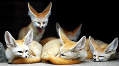 Fennec foxes (floridapfe) Tags: family animal animals zoo nikon group korea fox southkorea soe fennec fennecfoxes naturesfinest desertfox d80 35faves golddragon eveland abigfave theexhibit impressedbeauty aplusphoto ultimateshot flickrdiamond megashot excellentphotographerawards theunforgettablepictures theperfectphotographer