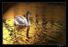 The Ugly Duckling ? (Mariusz Petelicki) Tags: lake swan blueribbonwinner abigfave canon400d excellentphotographerawards theperfectphotographer mariuszpetelicki