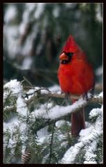 Snow Bird (Kadacat (Marlene)) Tags: winter snow birds avian northerncardinal naturesfinest canon30d fletcherwildlifegarden impressedbeauty infinestyle kadacat