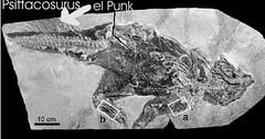psittacosaurus tail