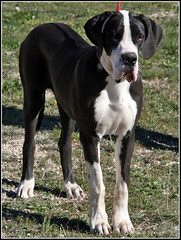 Becky (Ubierno) Tags: chien white black greatdane perro becky gran dane deutsche mantel dogo danés grandanes doggen ubierno