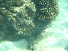 Thursday - Hanauma Bay snorkeling (psychopompous9) Tags: beach water hawaii bay underwater oahu snorkeling shore hanaumabay