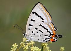 Imperial Hairstreak (Greg Miles) Tags: butterfly australia nsw naturesfinest calga platinumphoto australianbutterfly imperialhairstreak jalmenusevagoras abcopen:project=upclose gregmiles