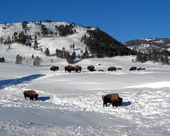 Bison - Yellowstone National Park (Dave Stiles) Tags: winter wildlife yellowstonenationalpark yellowstone bison stiles platinumphoto yellowstonewildlife yellowstonelandscape ynpwinter2008