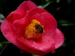 Doce Mergulho (fmsbotelho) Tags: macro abelha soe diversos camlia naturesfinest laflormasbella mywinners