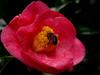 Doce Mergulho (fmsbotelho) Tags: macro abelha soe diversos camélia naturesfinest laflormasbella mywinners
