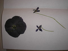 pressing flowers 1
