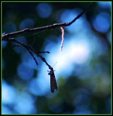 Silhouette (makeupanid) Tags: blue light orange white toronto black green silhouette butterfly highpark colours bokeh monarch monarchbutterfly sortof danausplexippus mondayblues flutteryfriday mywinners top30blue mondayblue