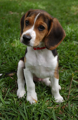 Newest family member (whiplashbikerphotog) Tags: beagle gumbo day105 project365 41408 whiplashbikerphotog