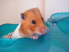 20080501 - 01 (kayako_) Tags: hamster pon