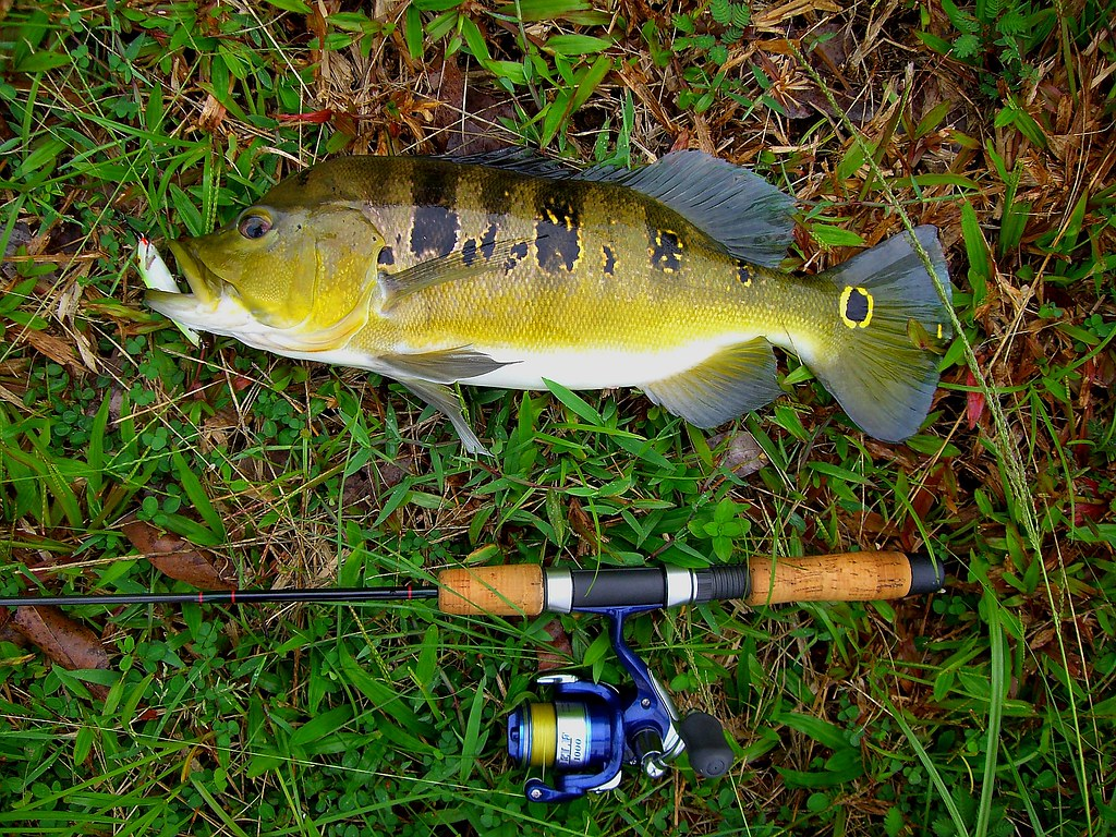 Fish #42 - Peacock Bass (Boyfriend fish - with a head-hump)