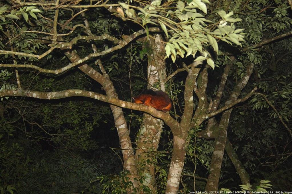 Petaurista Petaurista 大赤鼯鼠 IMG_6640