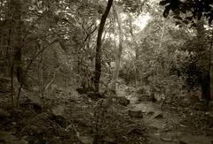 Buscando duendes (Llum Endins) Tags: white black tree blanco rainforest arboles camino path negro selva jungle picturesque blancinegre jungla fiatlux peachofashot grouptripod llumendins